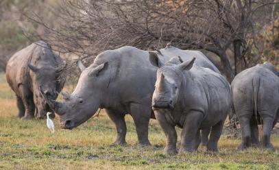 crash of white rhino and oxpecker Moremi Game Reserve