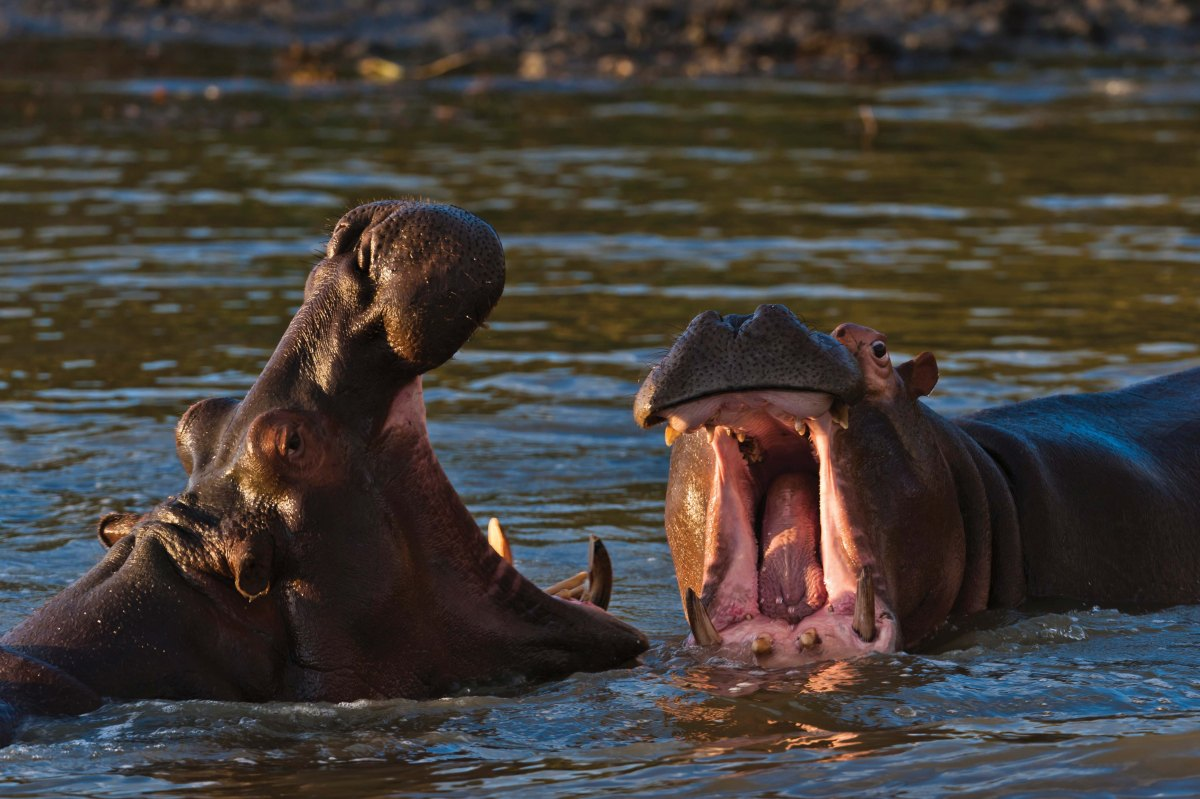 on_safari_hippos