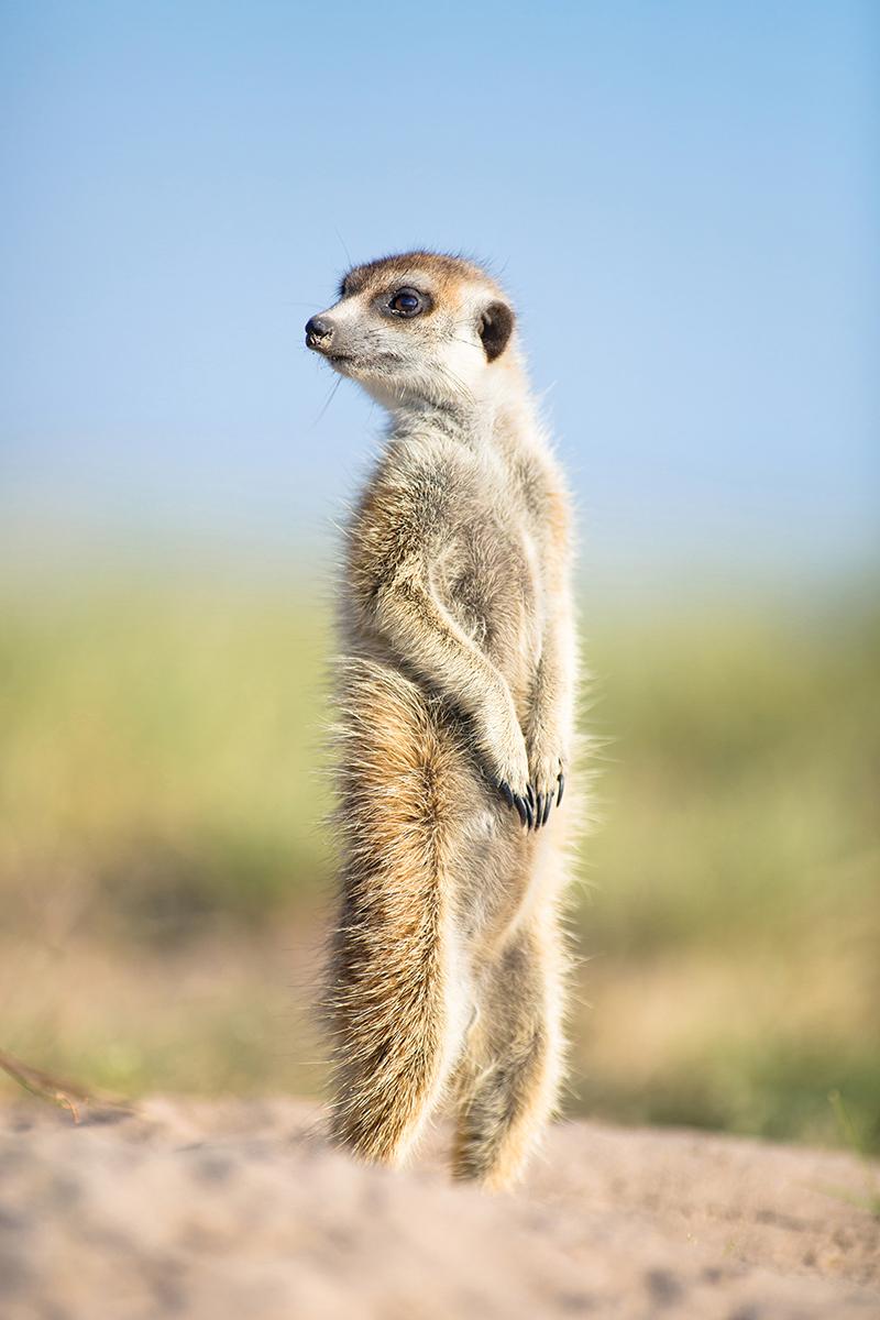 meerkat_wildlife_372185419.jpg