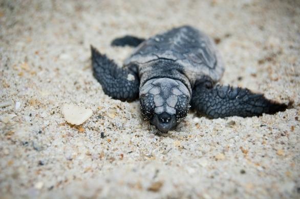 Leatherback Turtle_83529001