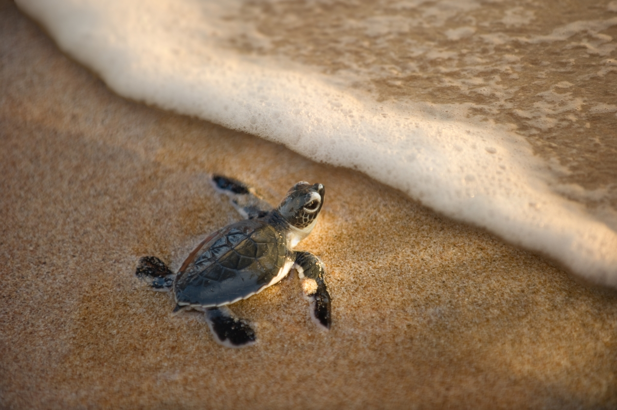 ss_91039295_baby turtle