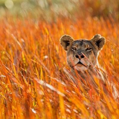 botswana-lioness_291358532