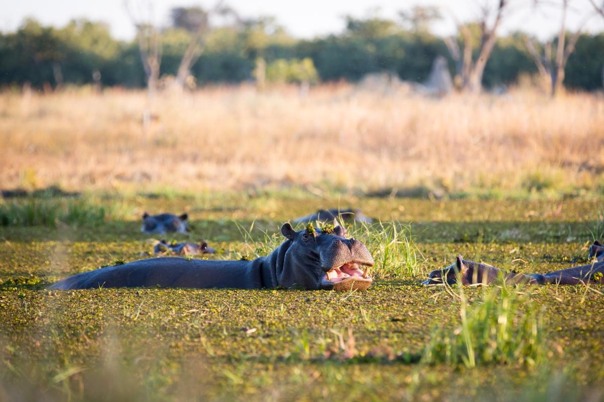 Hippo_Botswana_302044532.jpg