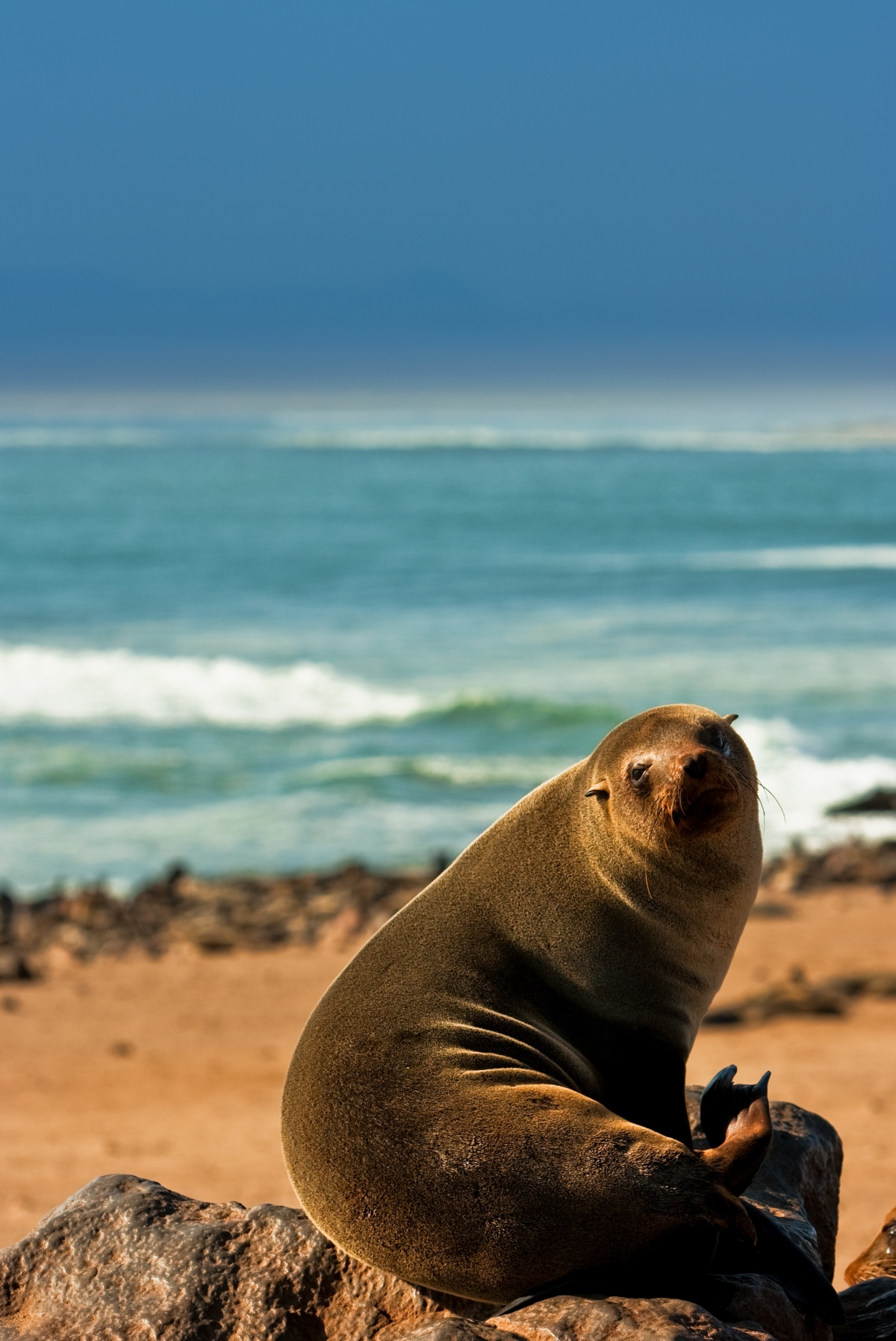 48948028_fur-seal_namibia