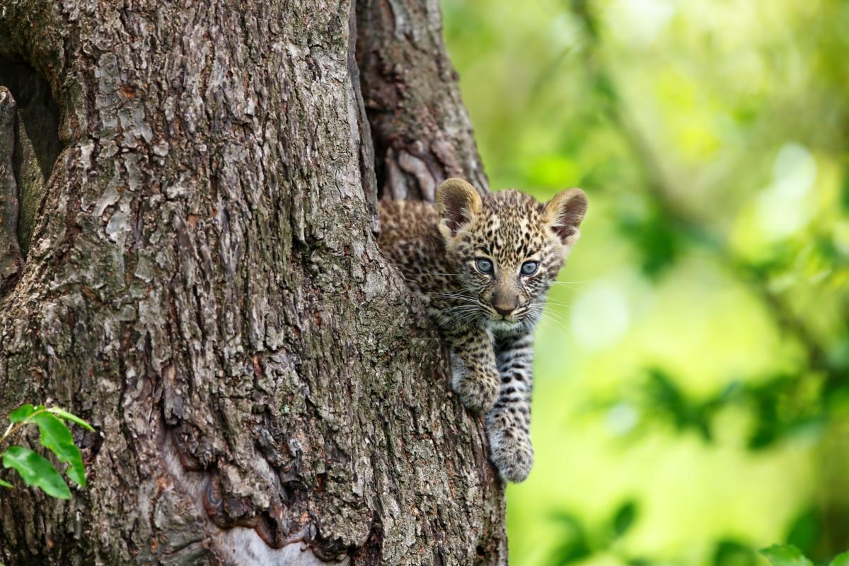 leopard-cub_376914253
