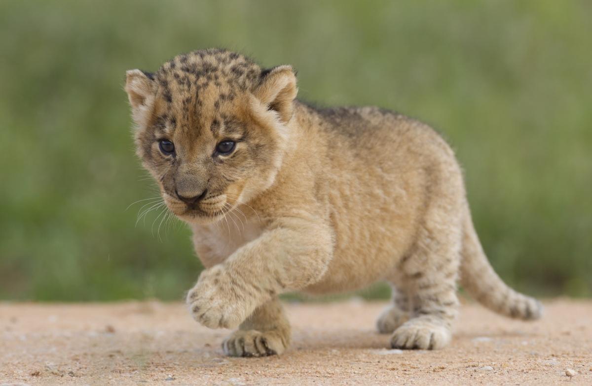 lioncub_96744733