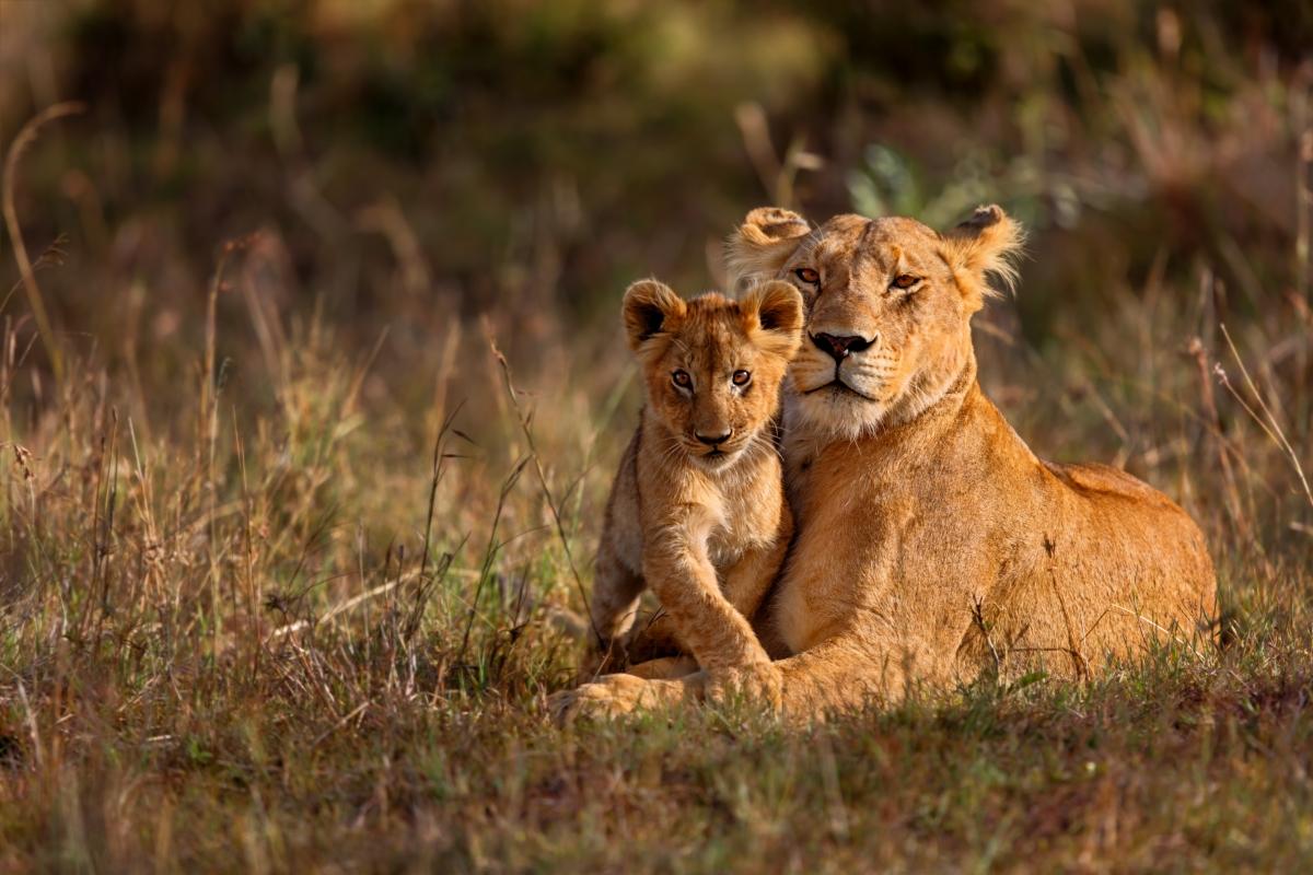 lioness_cub_238384645