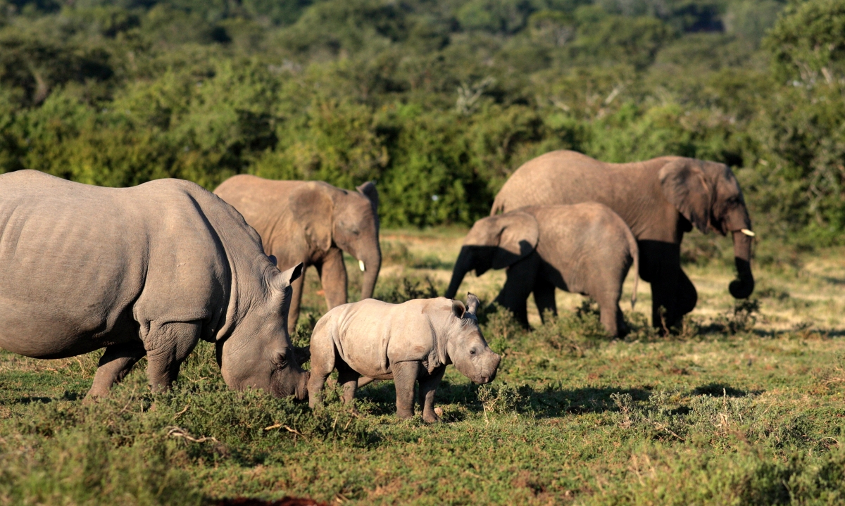 rhino-and-rhino-calf_243779524