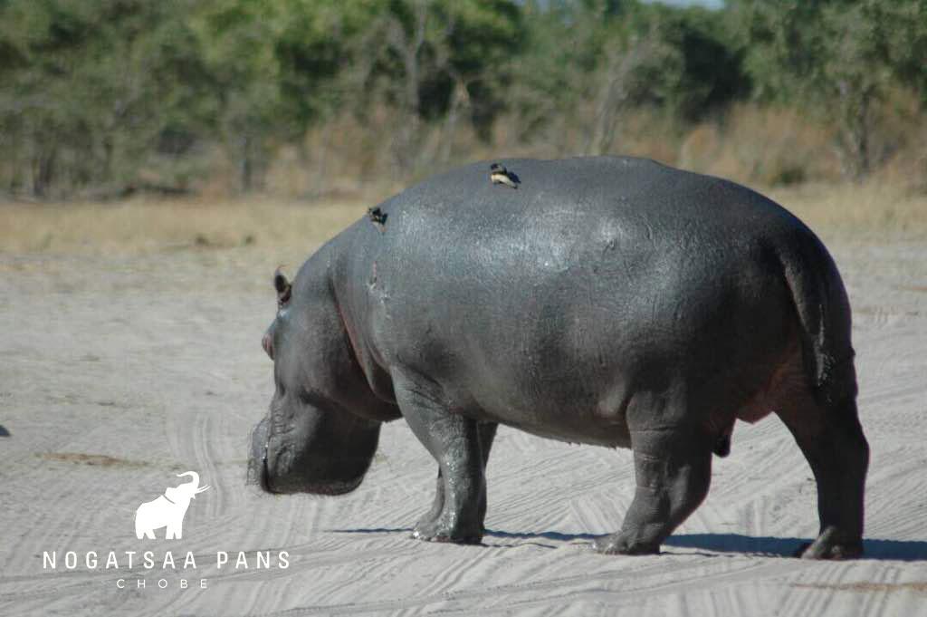 Hippo-in-road