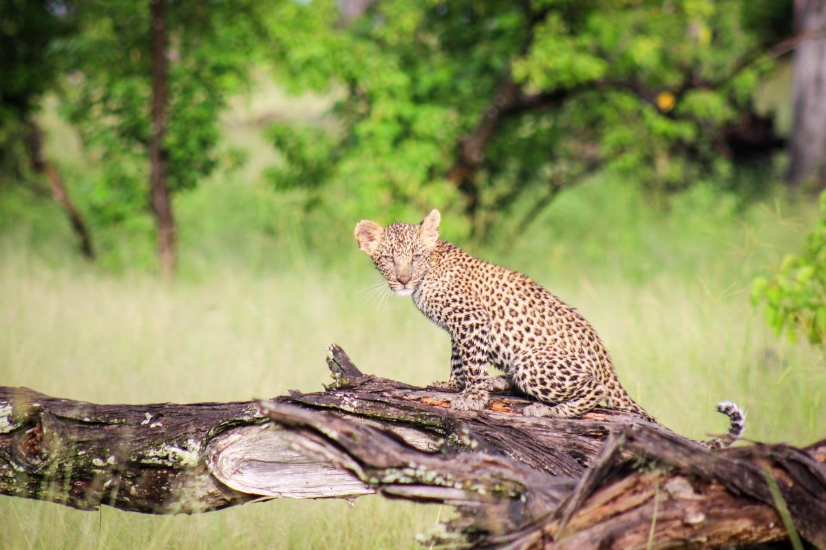 Camp-Moremi-Leopard-Cub