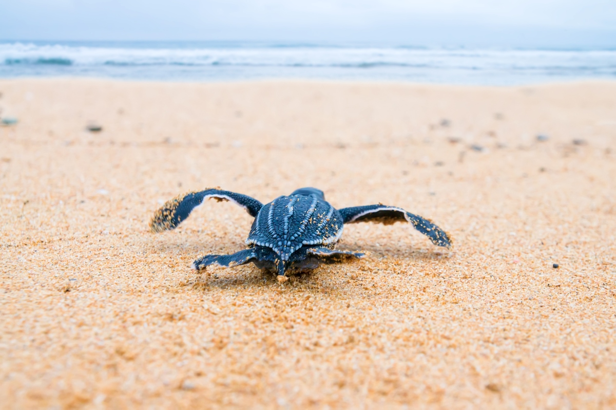 Leatherback Turtle-453449063.jpg