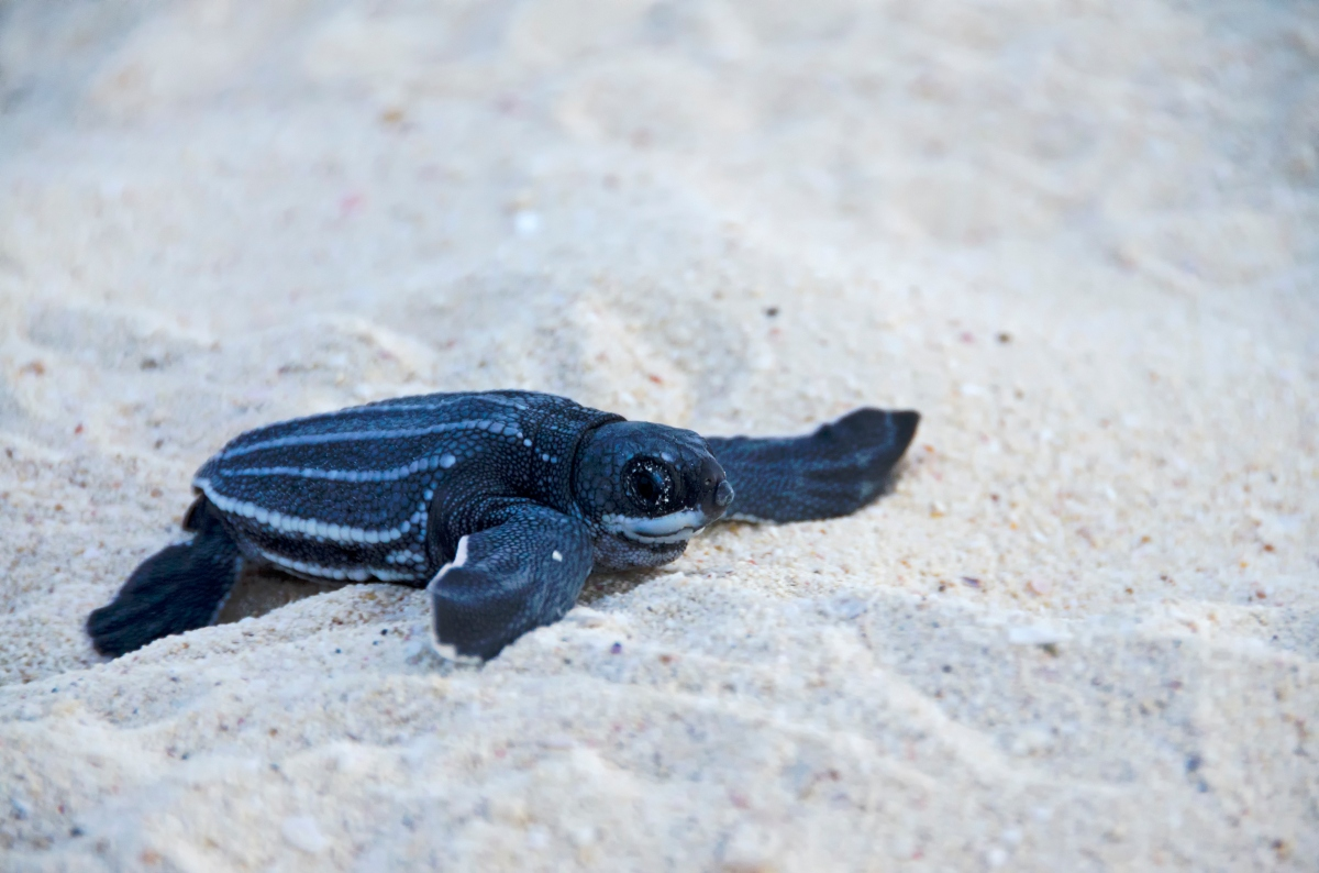 Baby Sea Leatherback Turtle
