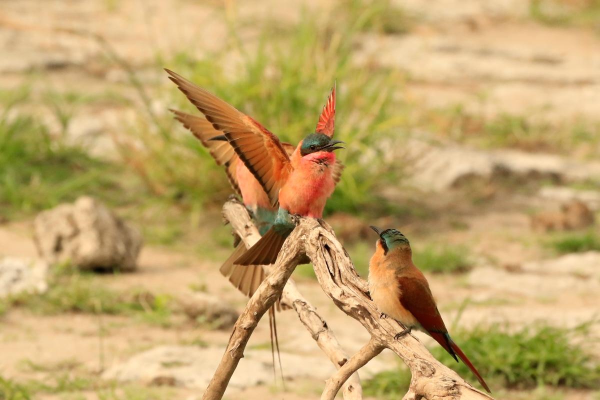Carmine Bee Eaters Botswana.jpg