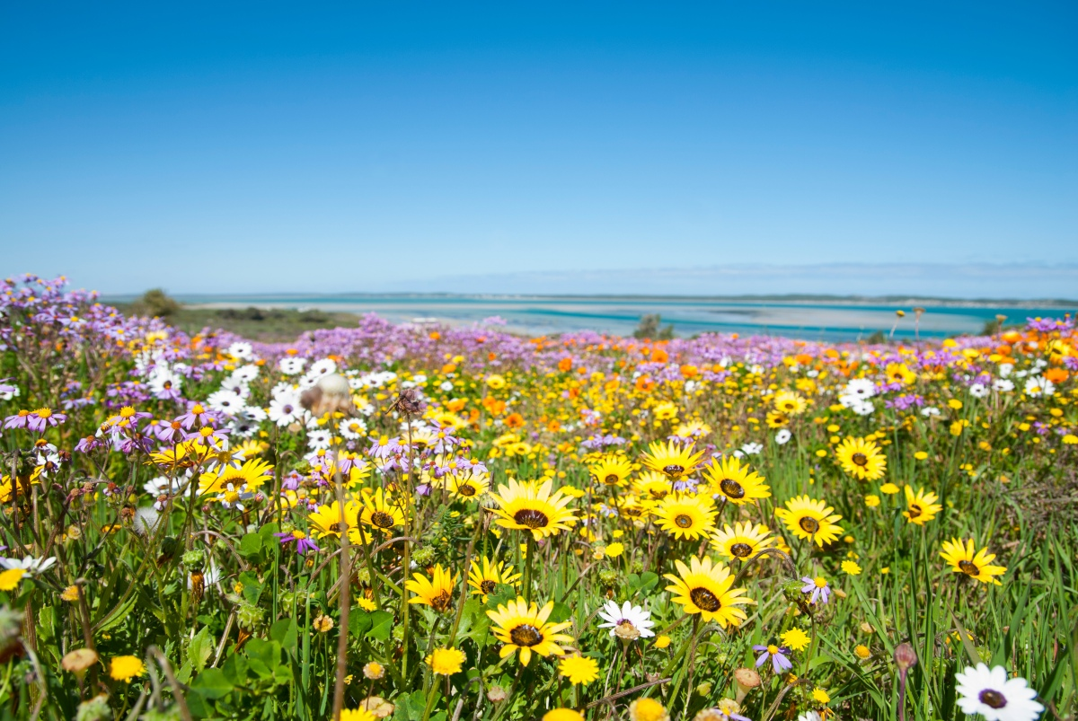 Langebaan West Coast Western Cape Wild Flowers-159616009.jpg