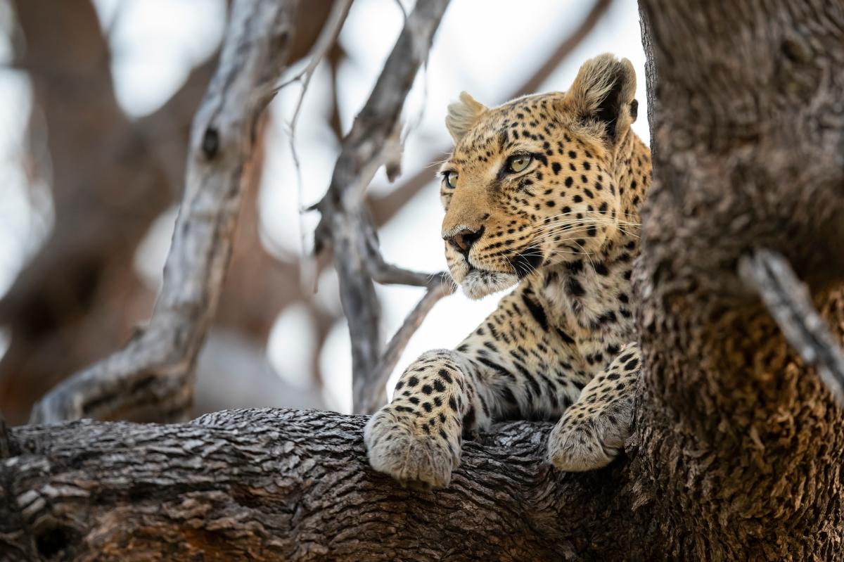 Leopard Okavango Delta Botswana-1157731451.jpg