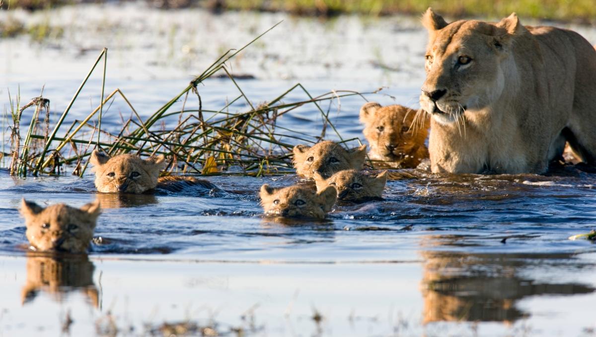Lions Botswana-139735741.jpg
