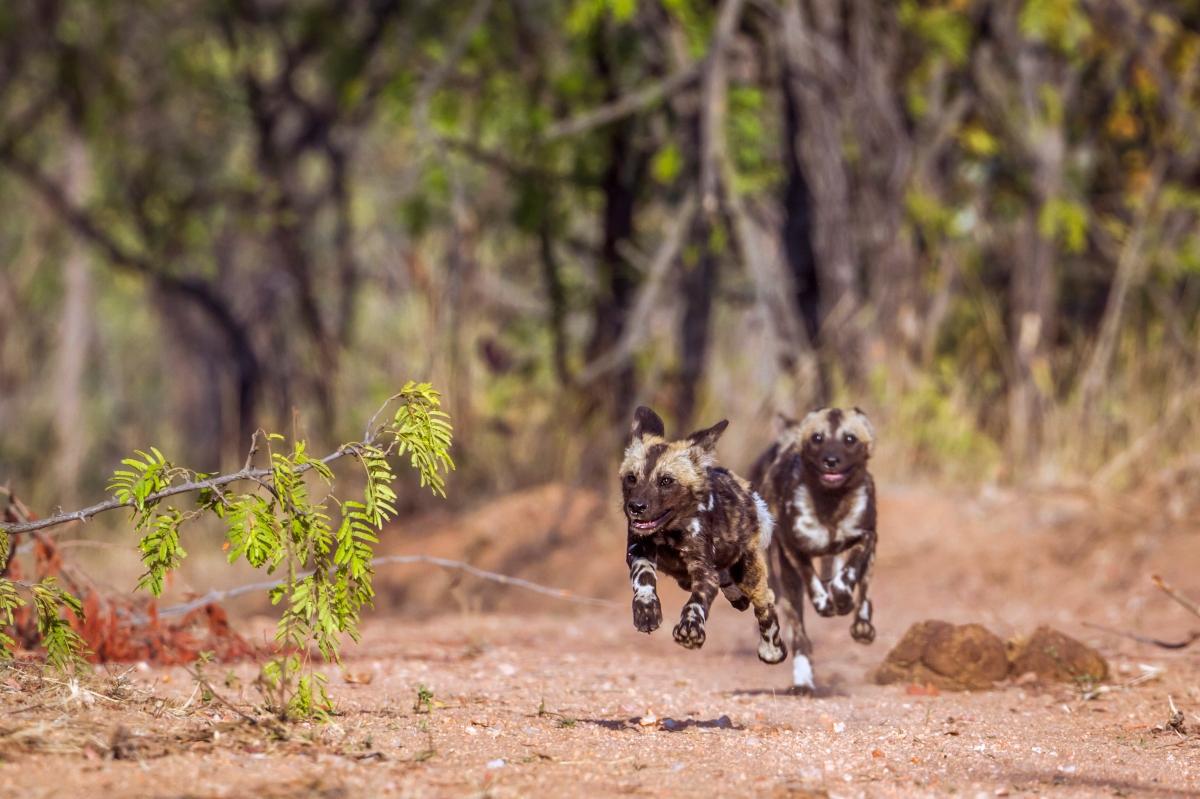 Wild dog-671796436.jpg
