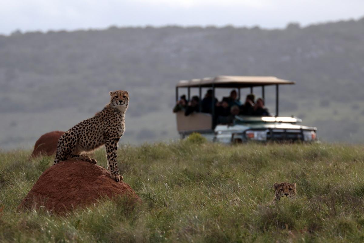 Cheetah and vehicle.jpg