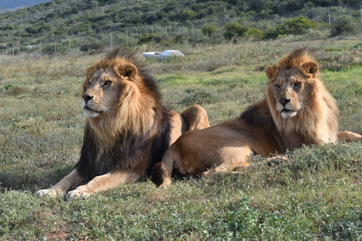 Jora and Black at Shamwari's Born Free Education Centre and Sanctuary (2)
