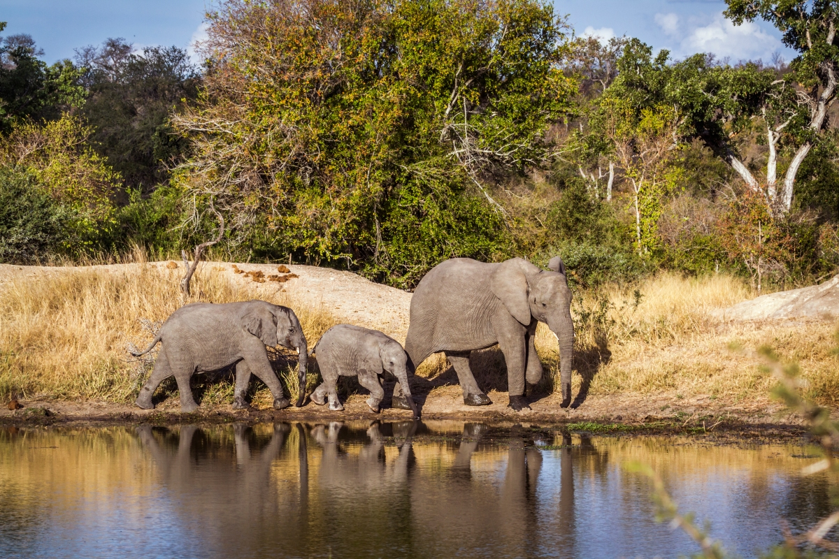 Elephants_KNP-959970150.jpg
