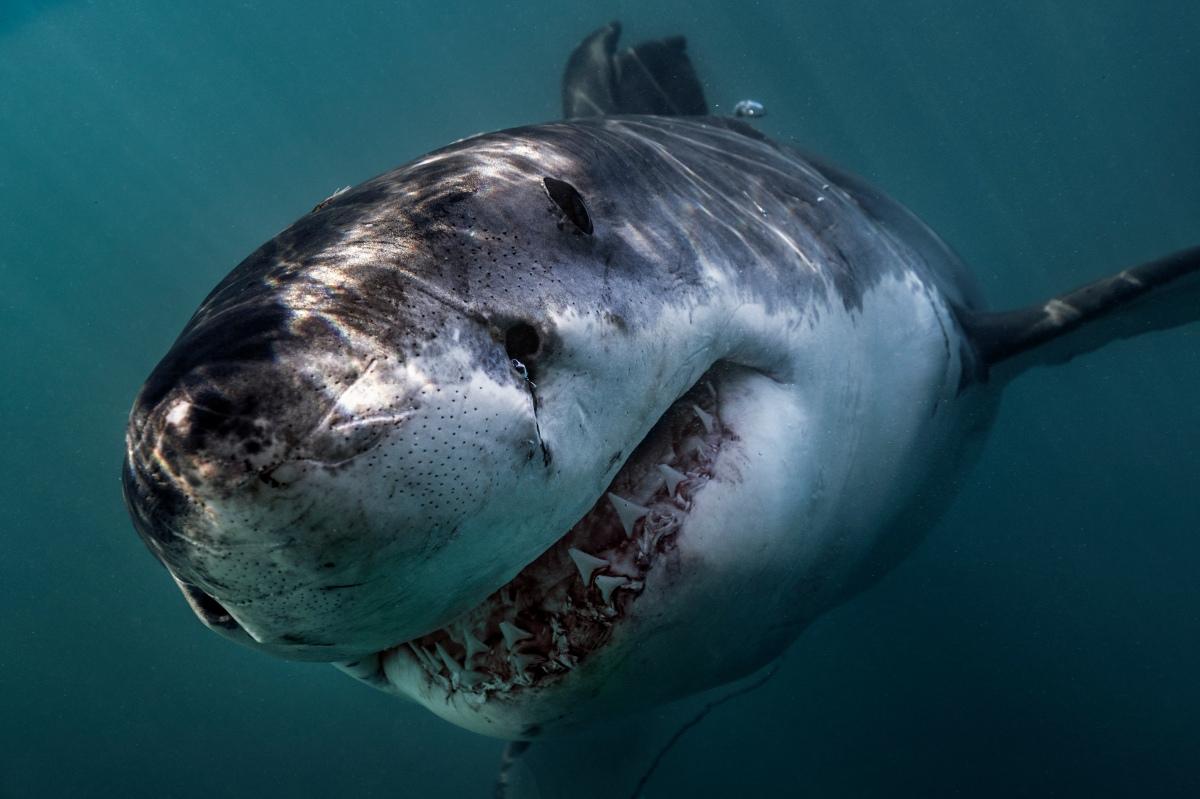 Great White Shark Gansbaai-683731629.jpg