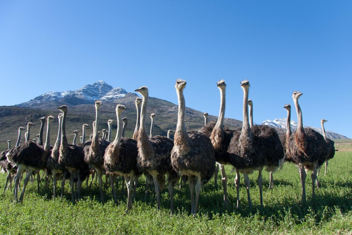 Oudtshoorn_Ostriches-511745034.jpg