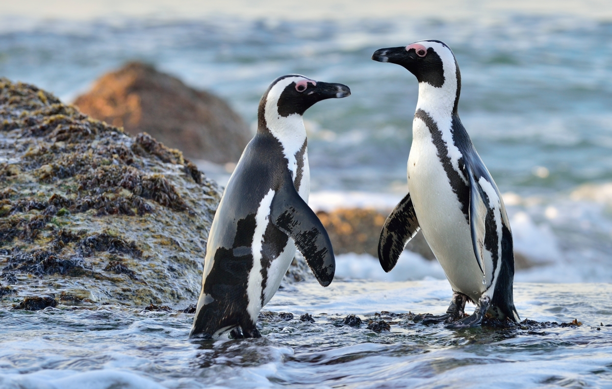 African Penguins on the seashore.