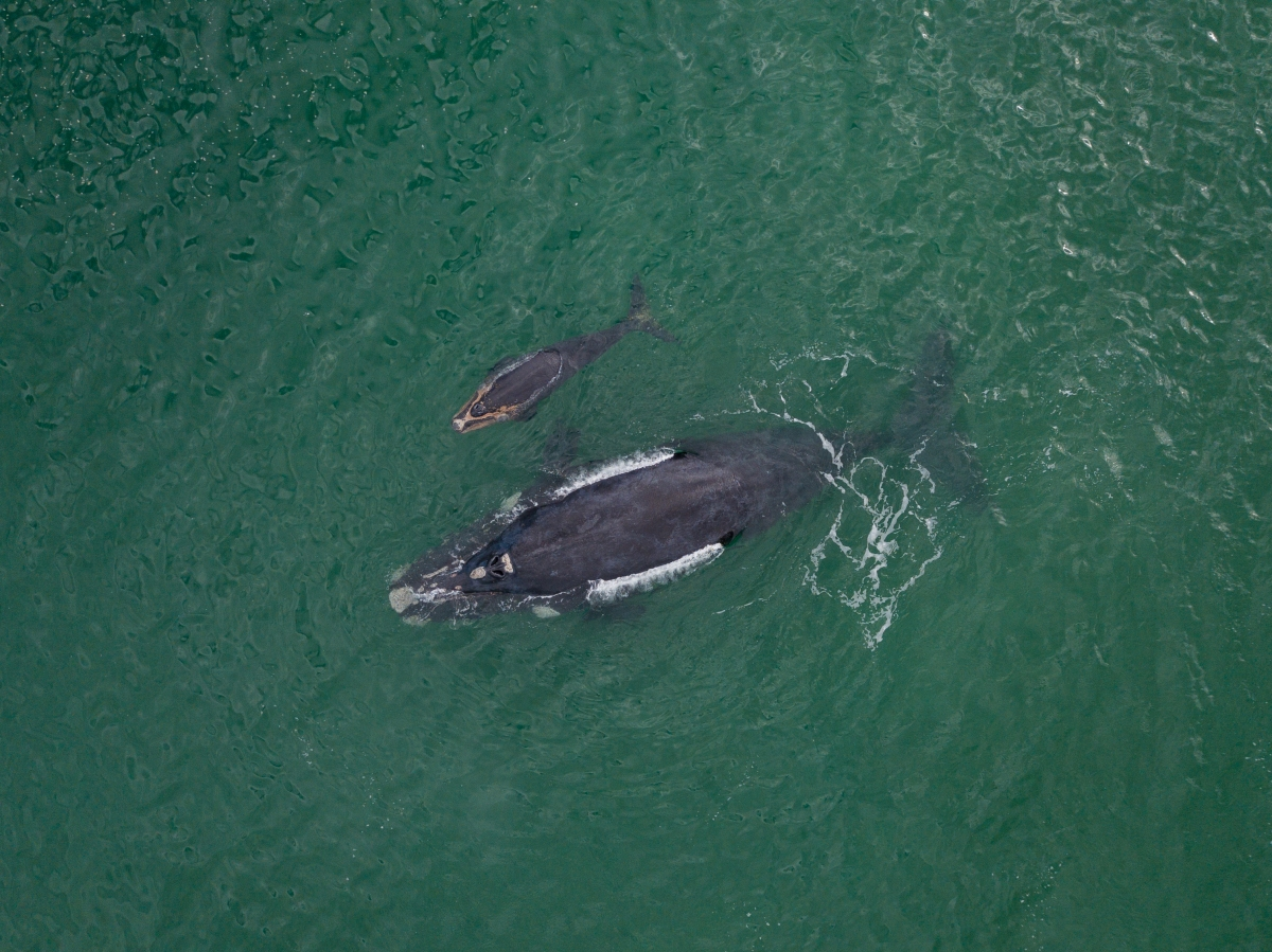 Southern Right Whale mother and calf-1030158124.jpg