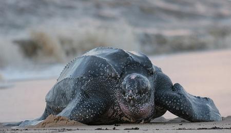 Leatherback turtle_7127584