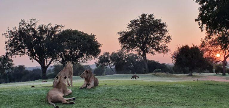 Skukuza Lions 4