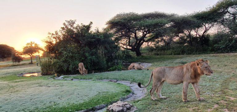 Skukuza Lions 5