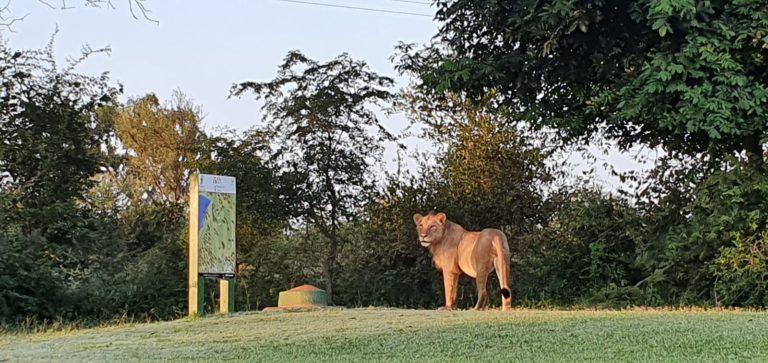 Skukuza Lions