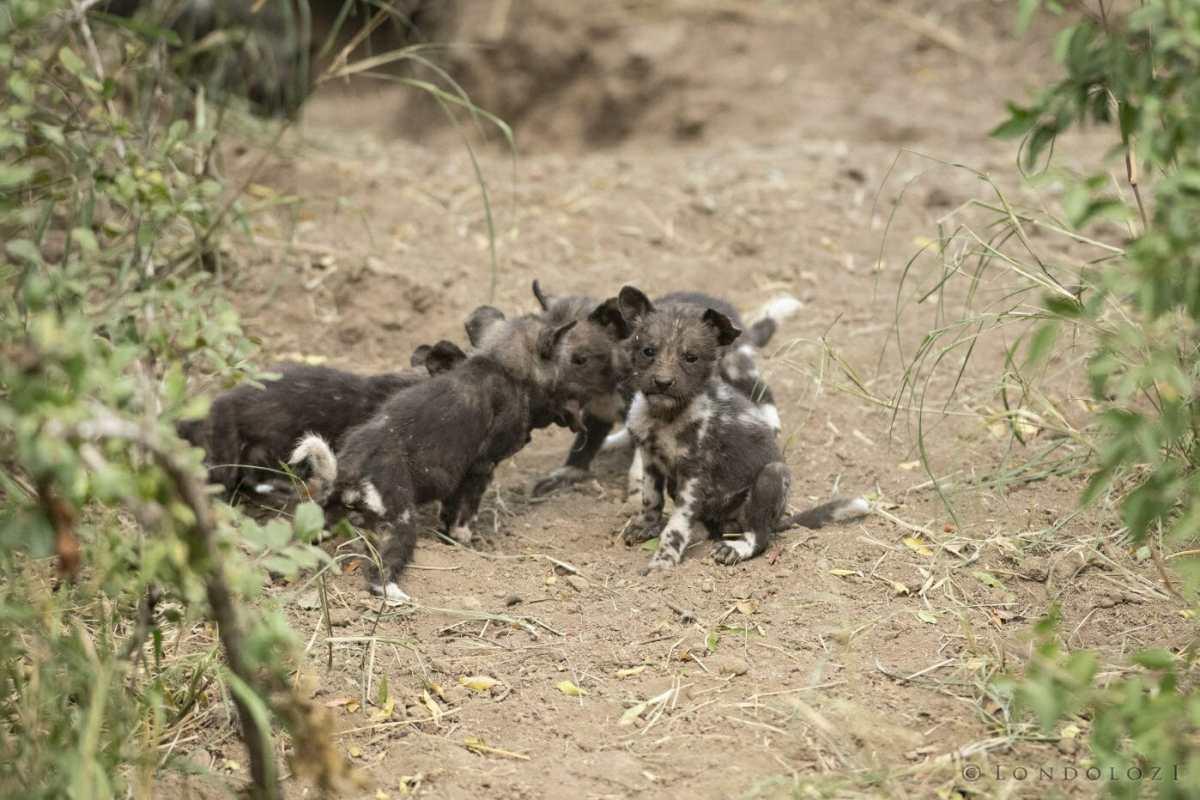 Wild-Dog-Pup-2-1398x932
