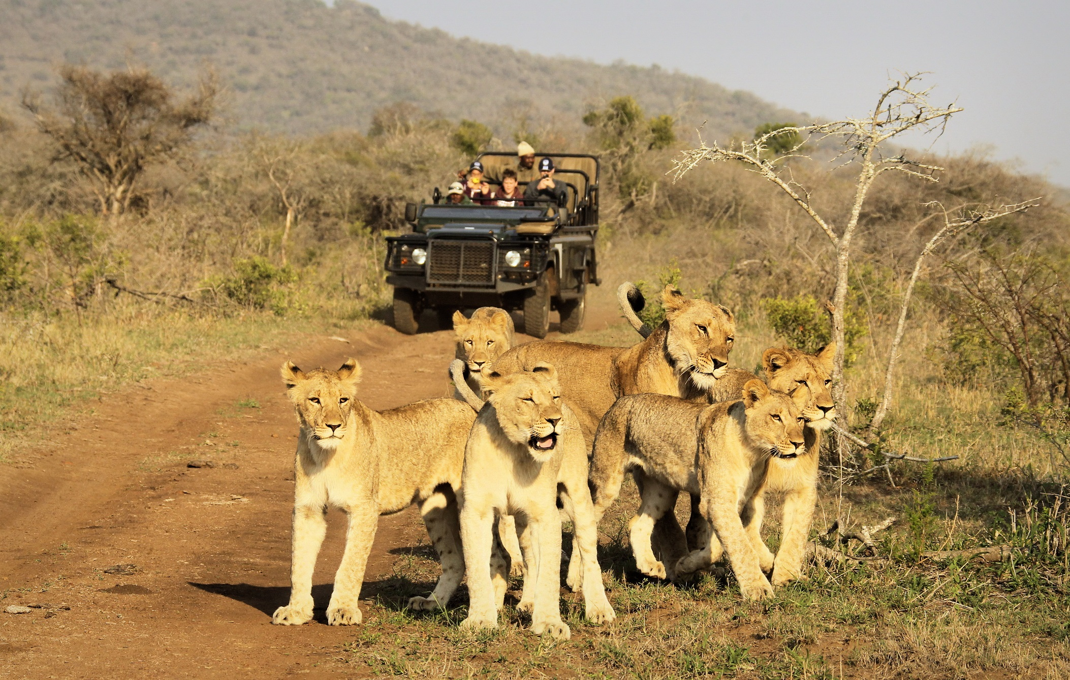 Game Drive - Lions resized